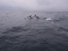 Dolphins on Protea Banks