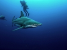 Blacktip Shark_2