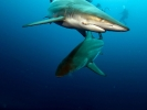 Blacktip Shark_4