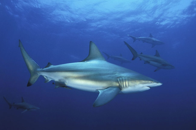 Oceanic Blacktip Shark - Aqua Planet Dive Centre