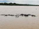 A family of Hippopotamidae seen on the St. Lucia Estuary River boat cruise.