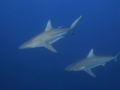 Oceanic Blacktip Shark