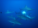 Baited shark dive with Oceanic Blacktip sharks.