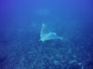 Spotted Eagle Rays on Protea Banks.