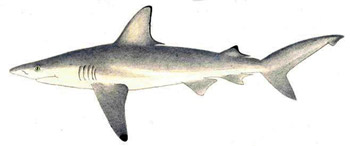 blacktip-fig1