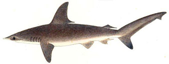 hammerhead-fig1