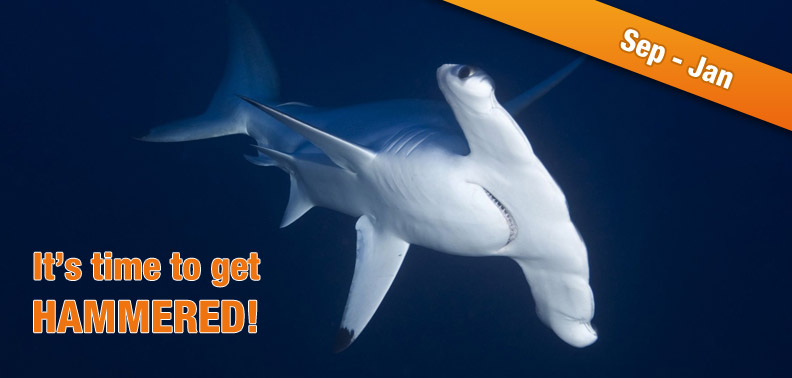 100's to 1000's of HAMMERHEAD SHARKS ...